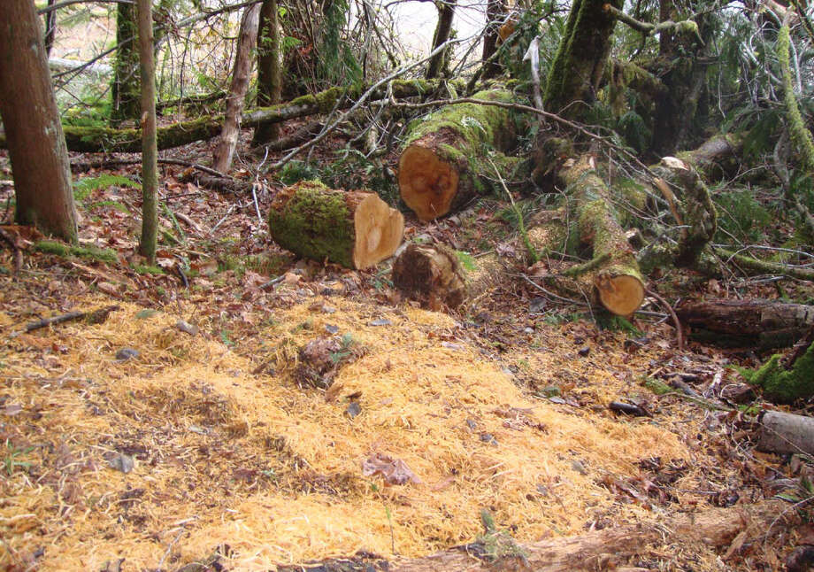 Federal prosecutors say Michael Welches, Richard Welches andMatthew Hutto felled and stole a mature bigleaf maple tree from Olympic National Park. The site of the alleged timber theft is pictured in an investigator's photo. Photo: Department Of Justice