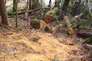 Federal prosecutors say Michael Welches, Richard Welches and Matthew Hutto felled and stole a mature bigleaf maple tree from Olympic National Park. The site of the alleged timber theft is pictured in an investigator's photo.