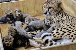 Bingwa with her three-week-old cheeetah cubs at the Saint Louis Zoo.