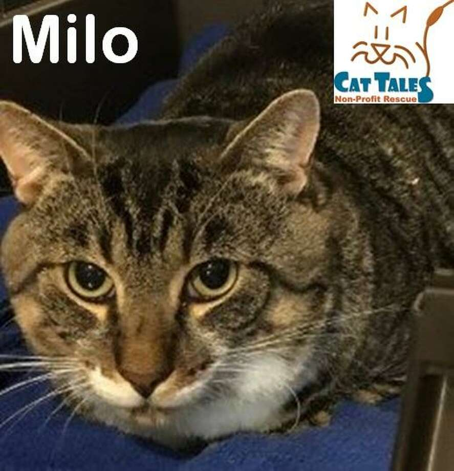 Milo, a 2-year-old brown tabby, is a very sweet boy. He has lived most of his life thus far outside, fending for himself. When we found him he was covered in ticks, sneaking food from someone's garage. Milo is FIV positive due to his rough start in life. FIV positive cats are NOT sick and people cannot catch this. It is very, very difficult for other cats to catch (blood needs to be exchanged). Milo loves lower back scratches and belly rubs. He is very affectionate but not accustomed to being picked up or held. With time, love and patience he may get used to it. He gets a little nervous when he's in a new place and just needs some time to adjust. He would love a screened in porch if you have one. This sweet boy just needs someone willing to be patient and simply love him. Milo should not be in a home with dogs. Call 860-344-9043, email info@CatTalesCT.org, or visit www.CatTalesCT.org/cats/Milo-2/ Photo: Contributed Photo