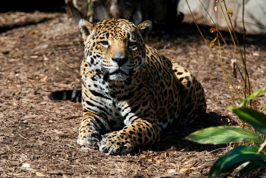 On Thursday the Houston Zoo announced the death of one of its oldest jaguars. Kan Balam was 20 years old according to zoo staff. The great-grandfather had been ailing for some time before he was euthanized this morning. Photo: Stephanie Adams/Houston Zoo
