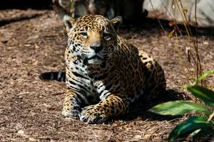On Thursday the Houston Zoo announced the death of one of its oldest jaguars. Kan Balam was 20 years old according to zoo staff. The great-grandfather had been ailing for some time before he was euthanized this morning.