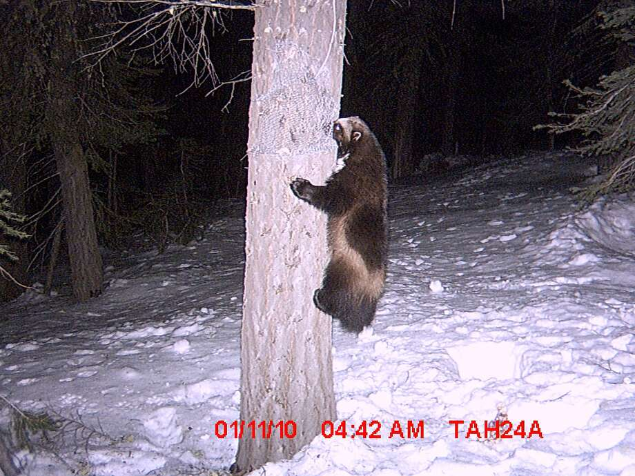 Buddy the wolverine caught on motion-sensitive cameras in early January 2010, northwest of Truckee. Photo: Sierra Pacific Industries
