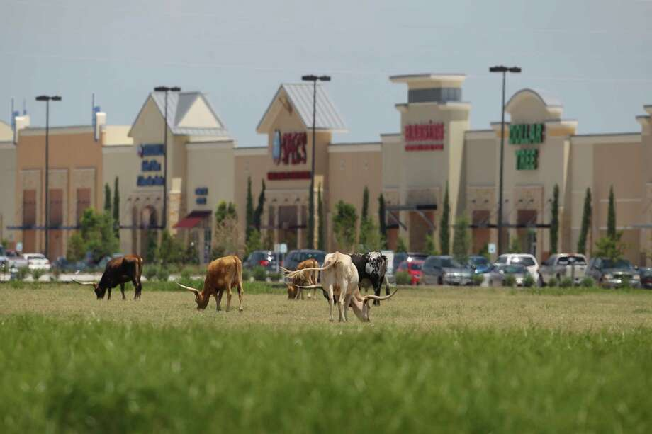Longhorns graze in a field near the Katy Ranch Crossing retail development along Interstate 10 past the Grand Parkway in 2013. Photo: Karen Warren, Staff / © 2013 Houston Chronicle