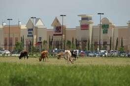 Longhorns graze in a field near the Katy Ranch Crossing retail development along Interstate 10 past the Grand Parkway in 2013.