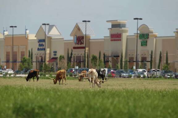Longhorns graze in a field near the Katy Ranch Crossing retail development along Interstate 10 past the Grand Parkway in 2013.
