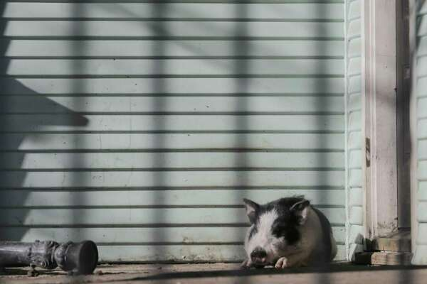 A pet pig sits on the front porch of a home as the weather warms up slowly in Houston on  Wednesday, Jan. 17, 2018.