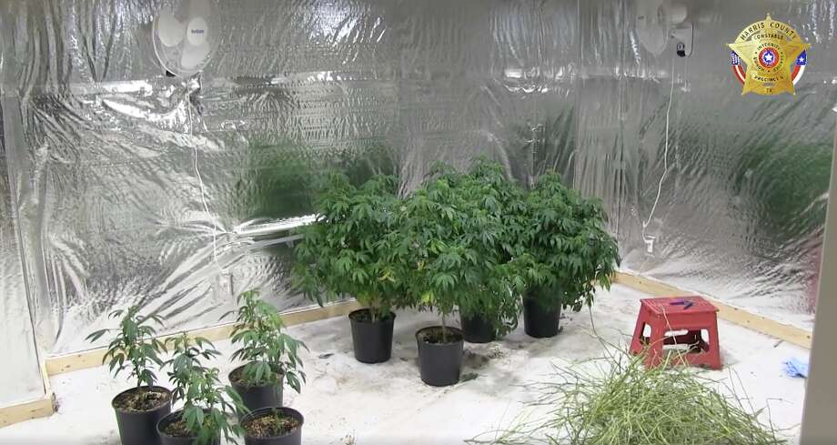 Deputies seized $300,000 worth of marijuana plants from a Cypress home Thursday night. Photo: Harris County Precinct 5 Constable's Office