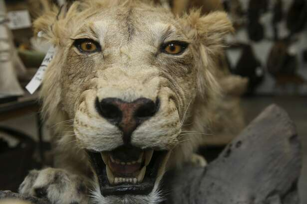 A full-body lion mount is ready to be auctioned at Winkler Center on Thursday, Jan. 18, 2018, in Houston. More than 700 taxidermy pieces will be auctioned by TexMAX Auctions on Saturday, January 20. ( Yi-Chin Lee / Houston Chronicle )