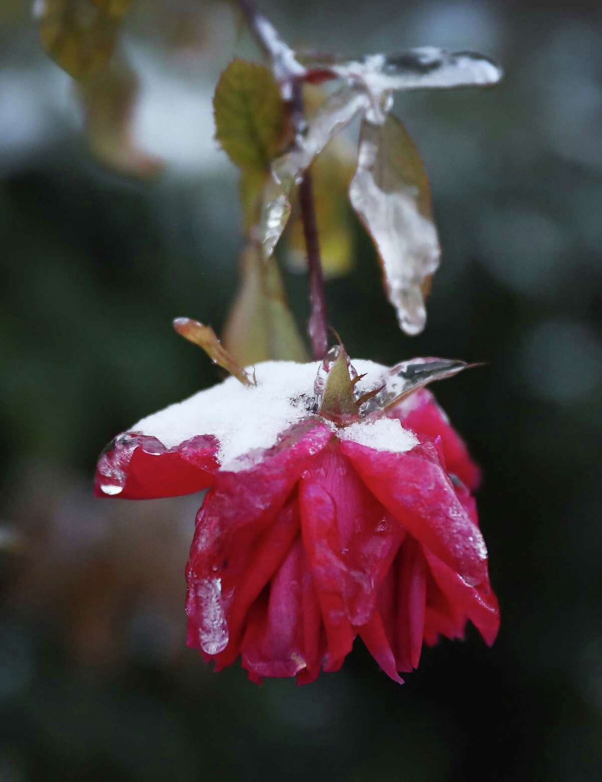 The winter storm that moved through the area left plants, like this rose, covered with ice.