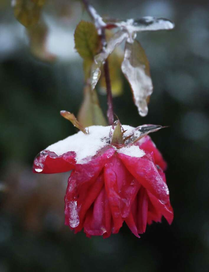 The winter storm that moved through the area left plants, like this rose, covered with ice. Photo: Joe Raedle, Staff / 2018 Getty Images