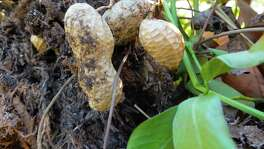 Peanuts are harvested by uprooting the withered plants. Dozens of the legumes  form along the roots of each plant.