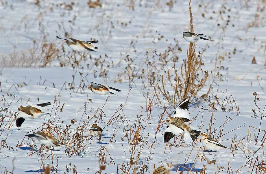 Although cold weather is hard on some wildlife, certain species seem to thrive under frigid conditions, like these snow buntings spotted at Fish Point Wildlife Area. Photo: Bill Diller/For The Tribune