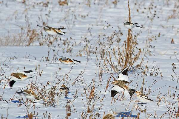 Although cold weather is hard on some wildlife, certain species seem to thrive under frigid conditions, like these snow buntings spotted at Fish Point Wildlife Area.