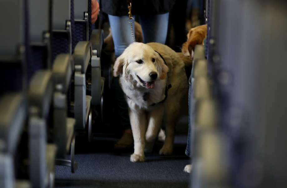 FILE - In this April 1, 2017 file photo, a service dog strolls through the isle inside a United Airlines plane at Newark Liberty International Airport while taking part in a training exercise, in Newark, N.J. Delta Air Lines says for safety reasons it will require owners of service and support animals to provide more information before their animal can fly in the passenger cabin, including an assurance that it's trained to behave itself.  (AP Photo/Julio Cortez, File) Photo: Julio Cortez, Associated Press