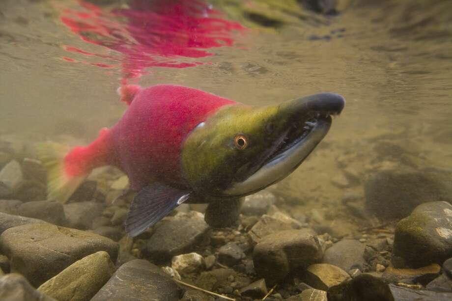 Sockeye salmon (Oncorhynchus nerka) migrating, Alaska Photo: Werner Van Steen/Getty Images