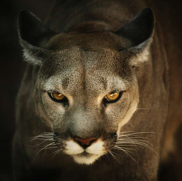 Cougar in hunt attitude