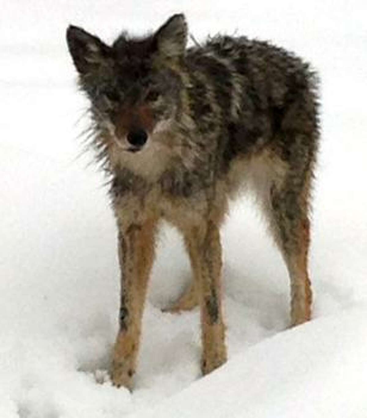 A coyote in Stamford
