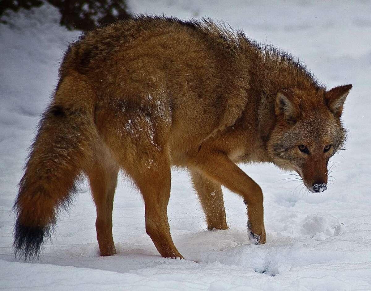 An Eastern coyote.
