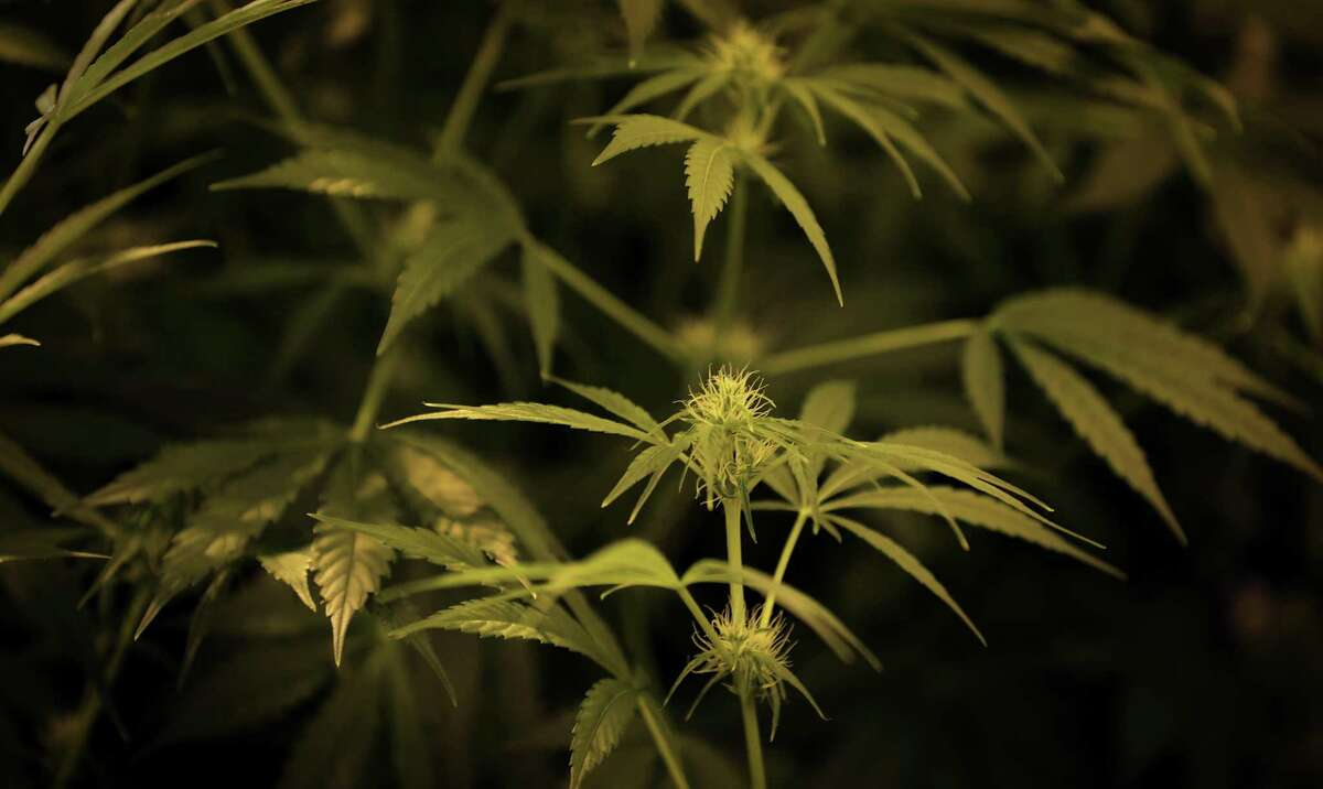 Compassionate Cultivation harvests its first marijuana plants Friday in Austin. It is one of three companies in Texas licensed to make cannabidoil for medicinal purposes.