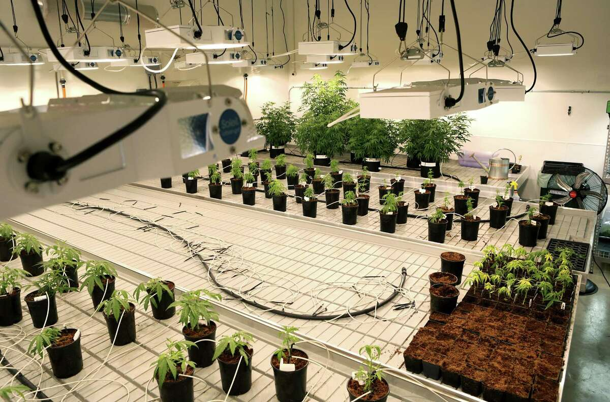 Special growing lights hang from the ceiling at Compassionate Cultivation, where the company's first harvest of marijuana plants took place Friday in Austin. The plants will be used to make cannabidoil for patients with severe seizures.