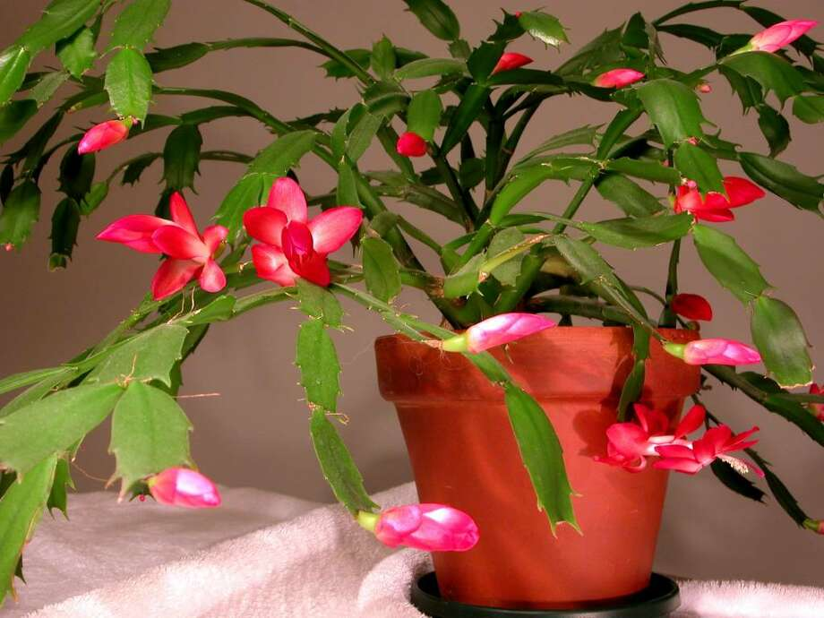 """The edges of Christmas cactus """"leaves,"""" or stem segments, will take on a reddish tinge if the plant has been exposed to much direct sun. (Norman Walsh)"""