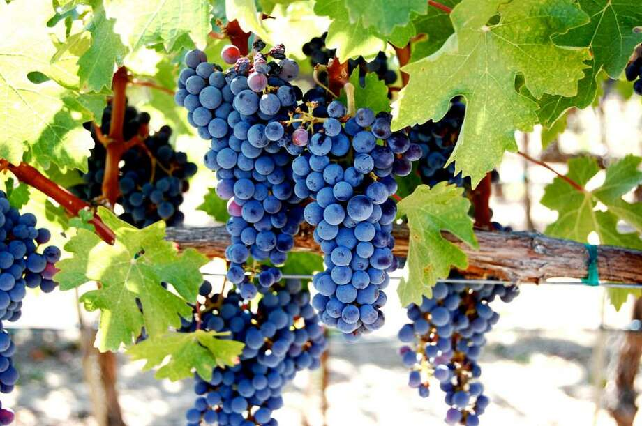 A bunch of cabernet grapes ripens on the vine at Castello di Amorosa in Calistoga, Calif. last October. (Trevor Gowan/Special to the Times Union) Photo: Trevor Gowan