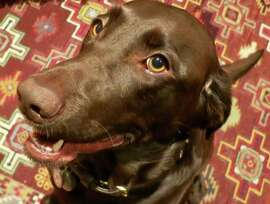 My chocolate lab Suzy has never been on a plane and is not a service dog. She stays home when I travel