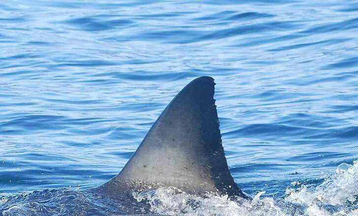 Unique markings on white sharks' fins (Carcharodon carcharias) can be used to identify individuals.