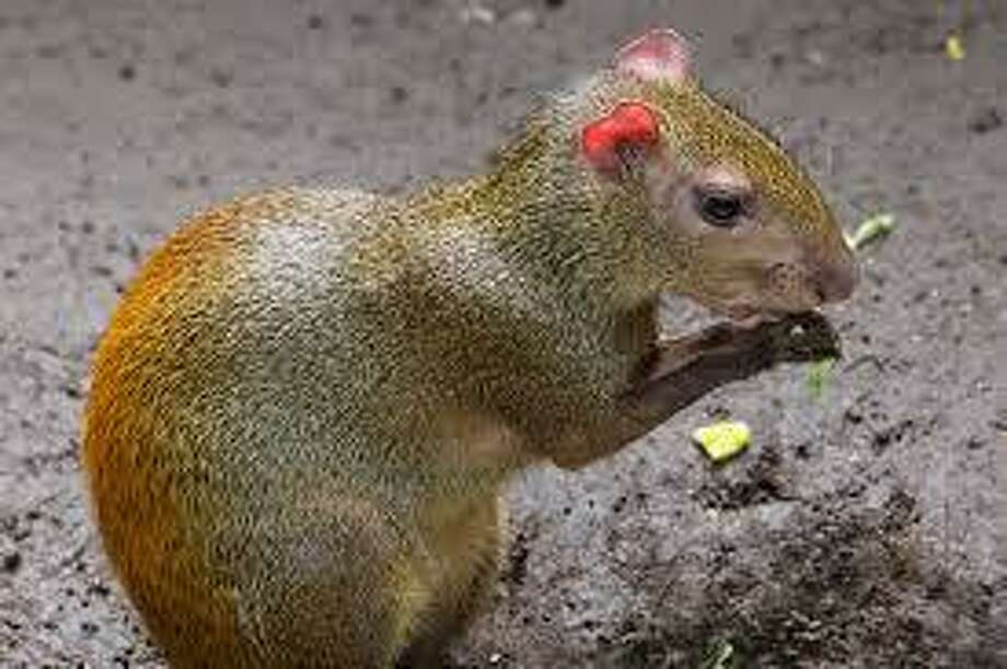 The red-rumped agouti (Courtesy of the Connecticut's Beardsley Zoo web page) Photo: Contributed / Contributed