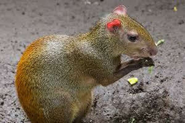The red-rumped agouti (Courtesy of the Connecticut's Beardsley Zoo web page)