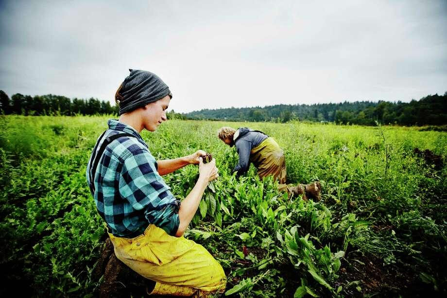 Two farmers kneeling in field on farm harvesting organic dandelion greens (Getty Images) Photo: Thomas Barwick / Thomas M. Barwick INC