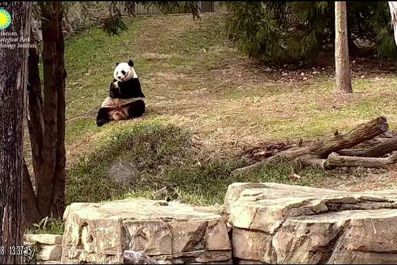 A image from the Smithsonian's National Zoo Giant Panda camera on January 22, 2018.