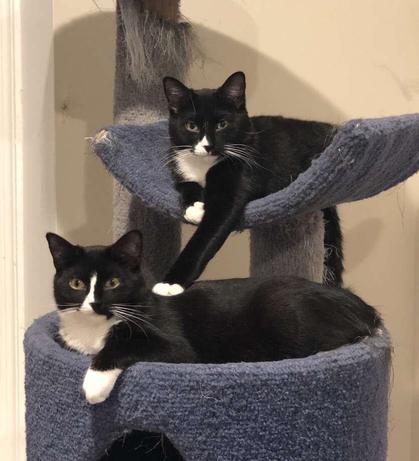 Blackbird and Sgt. Pepper are 8-month-old siblings who are bonded and need to find a home together. They are sweet and very playful. (Submitted photo)