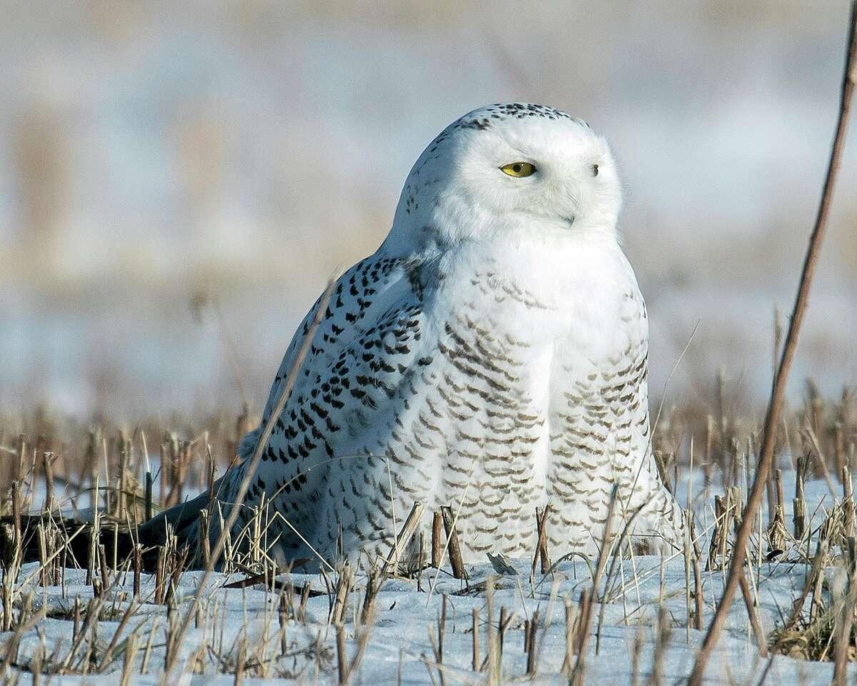 Snowy owl in a field near Fort Edward in Washington County.