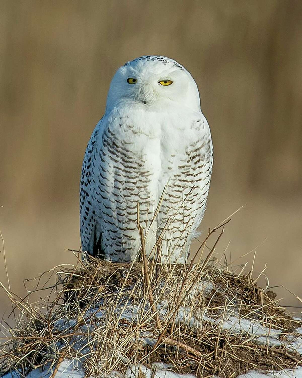 A snowy owl in a field near Fort Edward in Washington County. State wildlife officials have issued a warning to overzealous photographers who are approaching too close from the birds, which stresses them and interferes with their hunting.