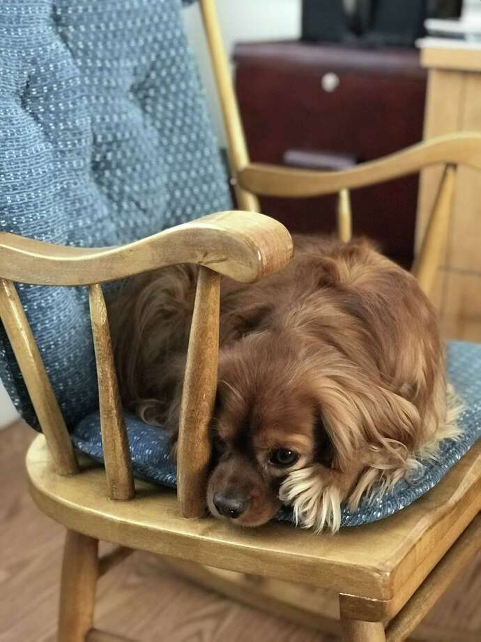 """Winner: Henry in """"his"""" chair, photographed by his owner Lisa Dillon, of Glenmont. (Provided)"""