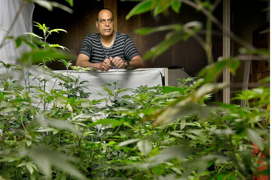 Above: Alexis Bronson is surrounded by the cannabis clones he grows in his facility. Below: Bronson, whose Medicinal Organic supplies clones of plants as well as seeds to Bay Area dispensaries, tends to his clones. Photo: Michael Macor, The Chronicle