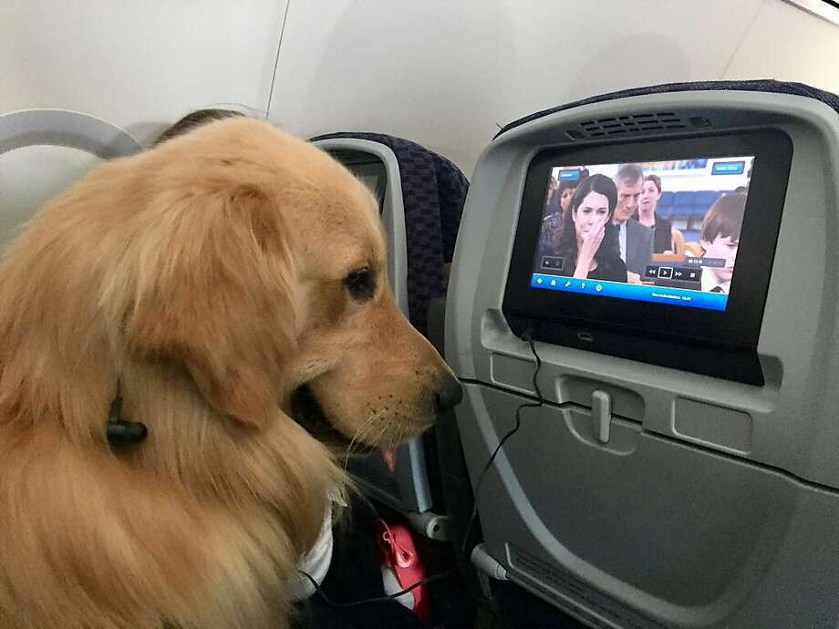While some well-behaved dogs are good travel companions, others are not. Complaints about animals flying on airliners have increased 500 percent over five years. Photo: Handout