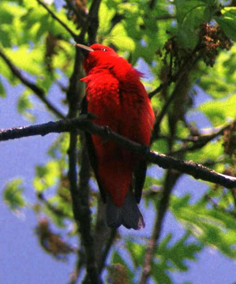 A male scarlet tanager, resplendent in all his glory, looks out across his territory. (Bill Danielson / Special to the Times Union)