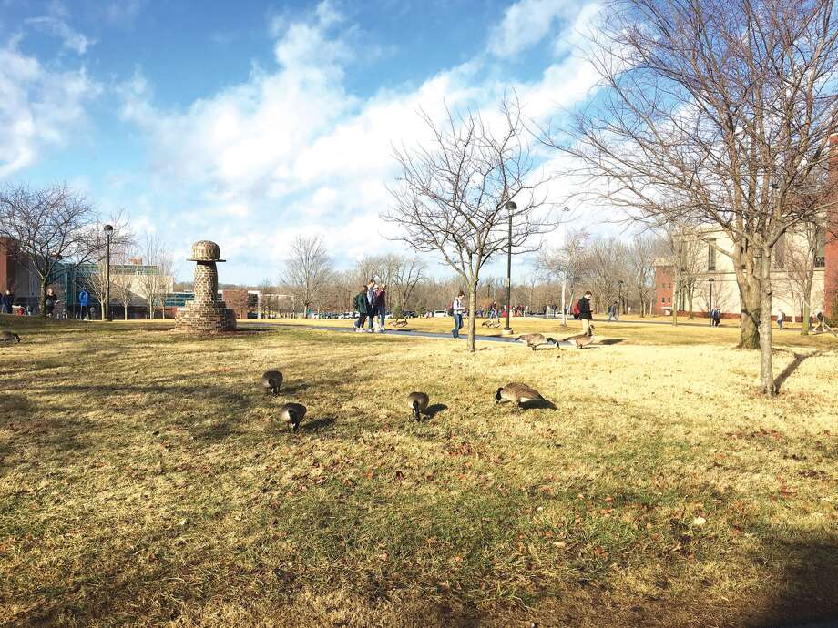 A gaggle of geese gathers on the lawn near the Morris University Center on the SIUE campus Monday morning. Students walking between classes have become accustomed to seeing the noisey birds. Photo: Bill Tucker • Btucker@edwpub.net
