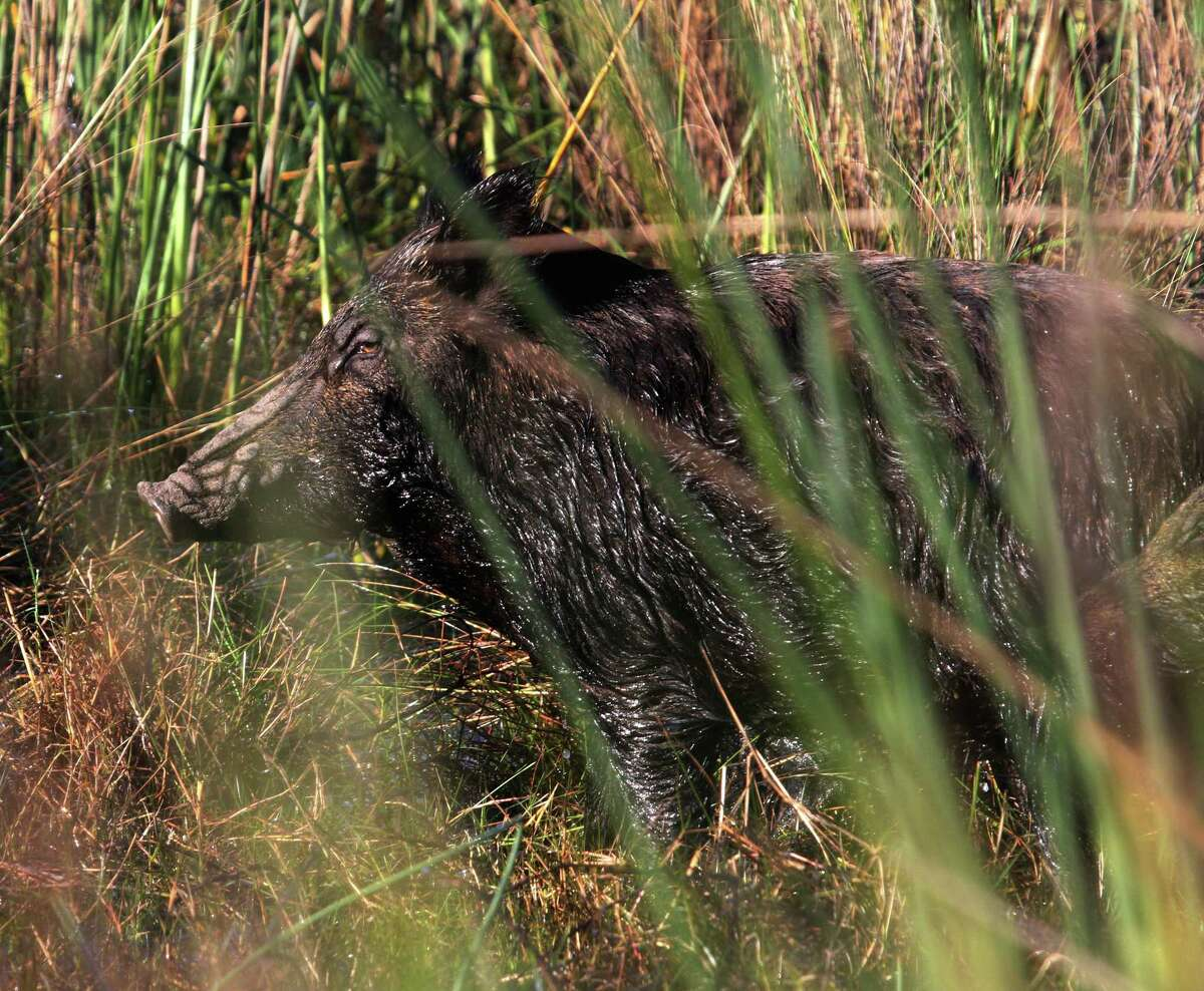 A sheen of ice coats a sow feral hog foraging in a coastal marsh. The cold-weather period from January to March, when cover is thinnest and food hardest to find, can offer Texas hog hunters their best odds of success.
