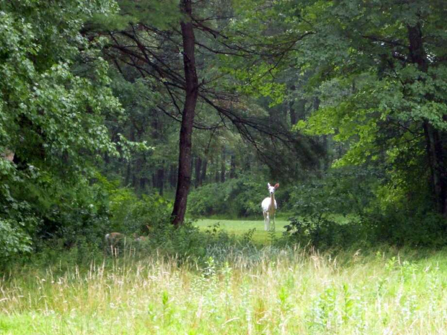 Joseph Novella spotted this albino deer near Redding Road in Westport at about 5:45 p.m. on Monday, June 28, 2010. Photo: Contributed Photo / Westport News