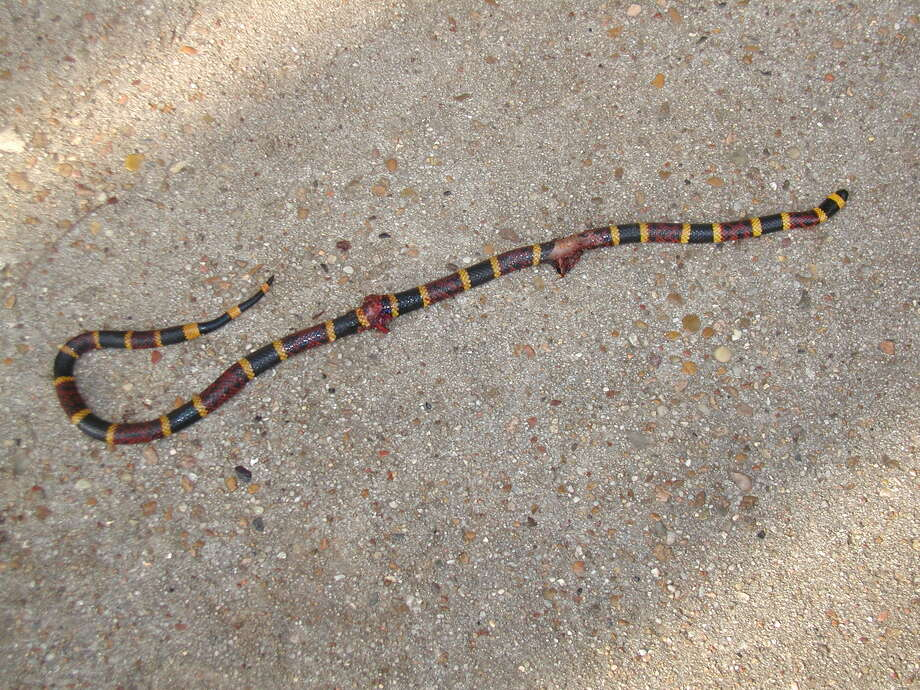 This coral snake showed itself when it took off out of one of my wife's flower beds. Photo: Larry J. LeBlanc