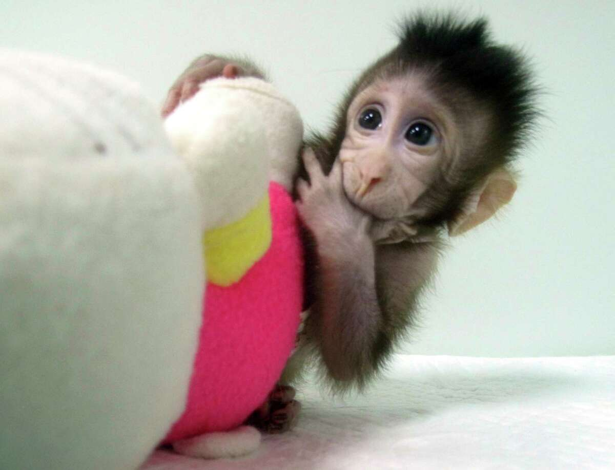 In this undated photo provided by the Chinese Academy of Sciences, cloned monkey Zhong Zhong sits with a fabric toy. For the first time, researchers have used the cloning method that produced Dolly the sheep to create two healthy monkeys, potentially bringing scientists closer to being able to do that with humans. (Sun Qiang and Poo Muming/Chinese Academy of Sciences via AP)