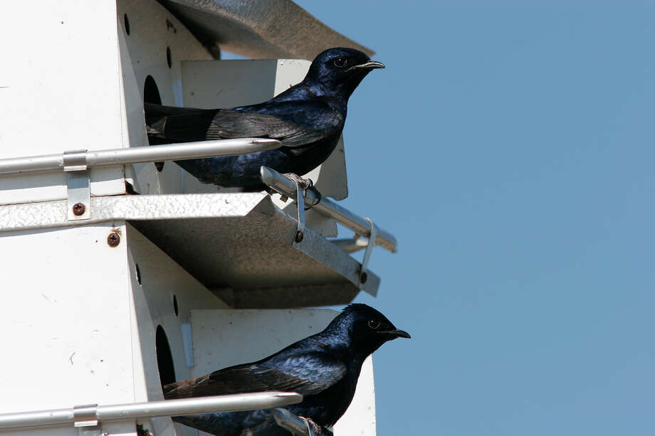 It's time to install new purple martin houses or clean out old nesting material from last year. Photo: Kathy Adams Clark / Kathy Adams Clark/KAC Productions