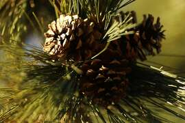 pine cones are seen in the Snow Mountain Wilderness in the Mendocino National Forest near Stonyford, Calif. Tuesday, December 12, 2017.