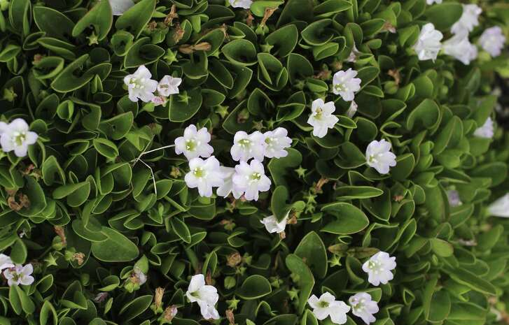 Falkia repens, a.k.a. African morning glory, is a versatile plant and prolific ground cover. In spring through summer, it produces a mass of starry white or pink flowers.