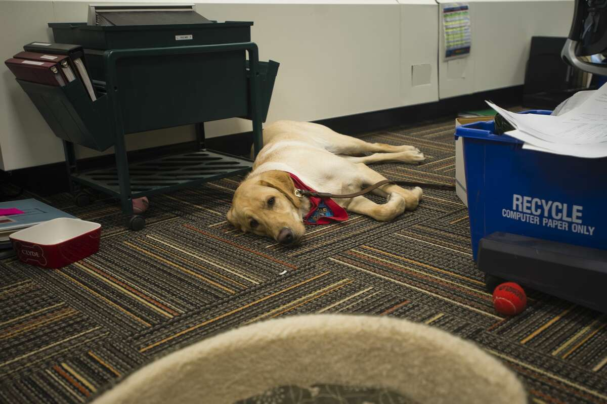 Clyde, the therapy dog for the Midland County Courthouse, rests in an office on the district court floor of the courthouse after a long day of work. The floor has been reopened after renovations were completed. (Katy Kildee/kkildee@mdn.net)