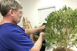 San Antonio Bonsai Society president Klaus Collinsworth styles a bonsai tree at a group workshop Wednesday.